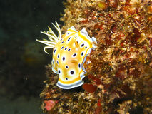 Chromodoris jumeau - Chromodoris geminus Stock Photography