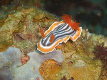 Chromodoris magnifica Royalty Free Stock Image