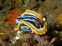 Chromodoris magnifica Stock Photo