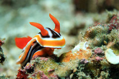 Chromodoris Magnifica Royalty Free Stock Photo