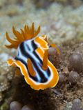 Chromodoris Magnifica Nudibranch Fotografia Stock