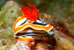 chromodoris magnifica nudibranch 库存照片