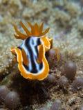 Chromodoris magnifica nudibranch Stock Photography