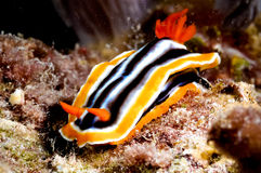 Chromodoris nudibranch kapoposang scuba diver diving Stock Images