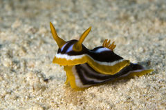 chromodoris quadricolor 免版税库存图片