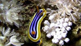 Chromodoris quadricolor lovely nudibranch. stock footage