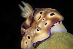 Chromodoris tinctoria, nudi branch Stock Photo