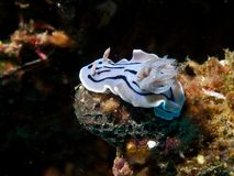 Chromodoris willani Royalty Free Stock Images
