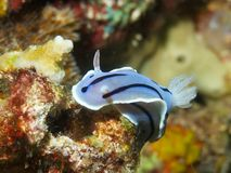 Chromodoris willani Royalty Free Stock Photos