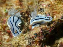 Chromodoris willani Stock Image
