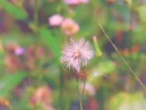 Chromolaena odorata & x28; Gemensam flossflower& x29; Örter grundar typisk i ett fält av gräs Selektivt fokusera Royaltyfri Fotografi