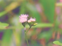 Chromolaena odorata & x28; Gemensam flossflower& x29; Örter grundar typisk i ett fält av gräs Selektivt fokusera Royaltyfri Bild