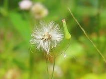 Chromolaena odorata & x28; Gemensam flossflower& x29; Örter grundar typisk i ett fält av gräs Selektivt fokusera Arkivbilder