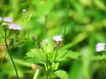 Chromolaena odorata & x28; Gemensam flossflower& x29; Örter grundar typisk i ett fält av gräs Selektivt fokusera Fotografering för Bildbyråer