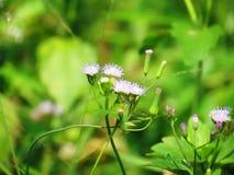 Chromolaena odorata & x28; Gemensam flossflower& x29; Örter grundar typisk i ett fält av gräs Selektivt fokusera Arkivfoto
