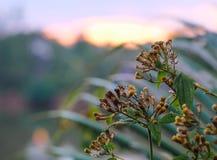 Chromolaena odorata kwitnie ฺBitter krzaka, Siam świrzepa w zmierzchu obrazy stock