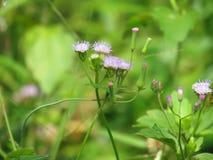 Chromolaena odorata & x28; Pospolity floss flower& x29; Ziele typowo zakładają w polu trawa Selekcyjna ostrość zdjęcia royalty free