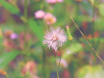 Chromolaena odorata & x28; Pospolity floss flower& x29; Ziele typowo zakładają w polu trawa Selekcyjna ostrość fotografia royalty free