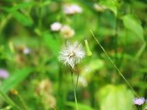 Chromolaena odorata & x28; Pospolity floss flower& x29; Ziele typowo zakładają w polu trawa Selekcyjna ostrość Obrazy Stock
