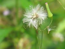 Chromolaena odorata & x28; Pospolity floss flower& x29; Ziele typowo zakładają w polu trawa Selekcyjna ostrość zdjęcia stock