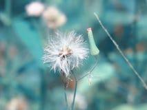 Chromolaena odorata & x28; Pospolity floss flower& x29; Ziele typowo zakładają w polu trawa Selekcyjna ostrość Fotografia Stock