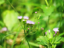 Chromolaena odorata & x28; Pospolity floss flower& x29; Ziele typowo zakładają w polu trawa Selekcyjna ostrość obraz royalty free
