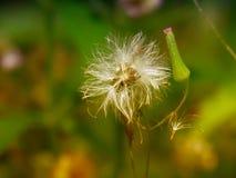 Chromolaena odorata & x28; Pospolity floss flower& x29; Ziele typowo zakładają w polu trawa Selekcyjna ostrość obraz stock