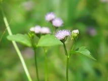 Chromolaena odorata & x28; 共同的绣花丝绒flower& x29;草本在草的领域典型地发现了 选择聚焦 图库摄影