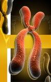 Chromosome Stock Images