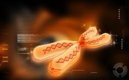 Chromosome Royalty Free Stock Images