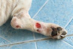 Chronic wound. On a dog leg Stock Image