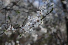 Chrry trädblomningar Fotografering för Bildbyråer
