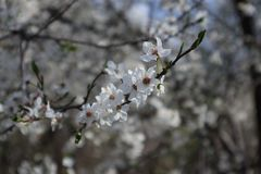 Chrry tree blossoms Stock Image