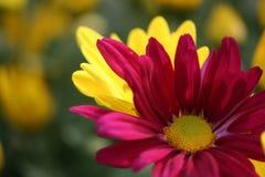 Chrsanthemum viola Fotografie Stock