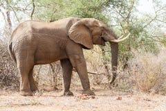Chrupanie słoń Fotografia Royalty Free