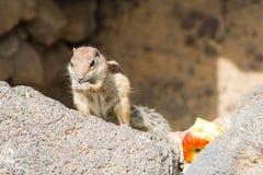 Chrupanie wiewiórka trzyma kawałek jabłko w swój rękach fotografia stock