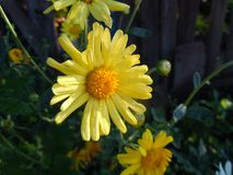 Chrusanthemums in the autumn garden, sunny day. royalty free stock photos