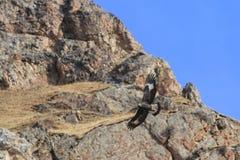 Chrysaetos Аквилы беркута летая над скалой горы в Сычуань, Китае Стоковые Фото