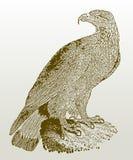 Chrysaetos juvéniles d'Aquila d'aigle d'or se reposant sur une roche Photographie stock libre de droits