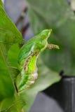 Chrysali & x28; куколки & x29; соединенной бабочки swallowtail & x28; Demol Papilio Стоковые Изображения