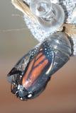 Chrysalide de monarque photo stock