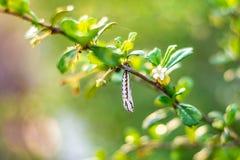 Chrysalides blanches de la forêt images libres de droits