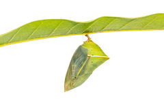 Chrysalides de baron de mangue Image libre de droits