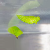 Chrysalides de guindineau de geai Tailed (agamemnon d'agamemnon de Graphium) Photographie stock libre de droits
