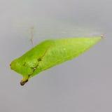 Chrysalides de guindineau de geai Tailed (agamemnon d'agamemnon de Graphium) Photo stock
