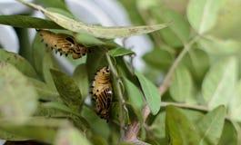 Chrysalides de papillon Photos stock