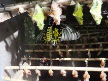 Chrysalides de papillon photographie stock libre de droits