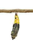 Chrysalides mûres de papillon Photographie stock