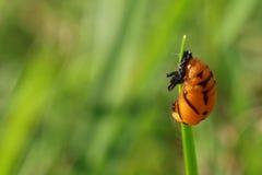 Chrysalides oranges sur la lame d'herbe photos stock