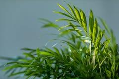 Chrysalidocarpus Chrysalidocarpus是淡黄色特写镜头 一棵年轻棕榈树的叶子 免版税图库摄影